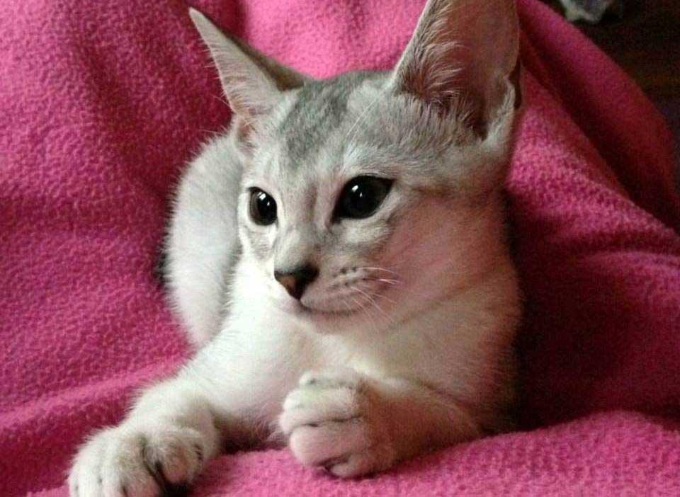 Abessijn Cattery Erendil Nestje Kittens - Bodor mist zijn zusje