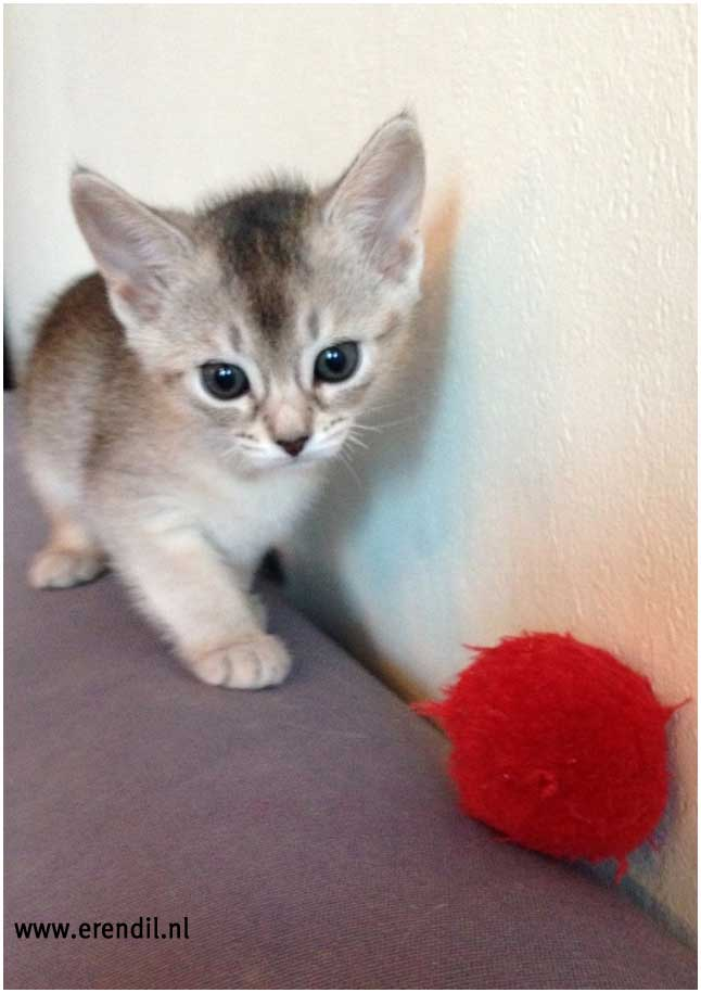 Abessijn Cattery Erendil Nestje Kittens - kittens Bodor