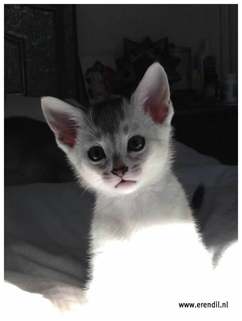 Abessijn Cattery Erendil Nestje Kittens - Beautiful Bodor