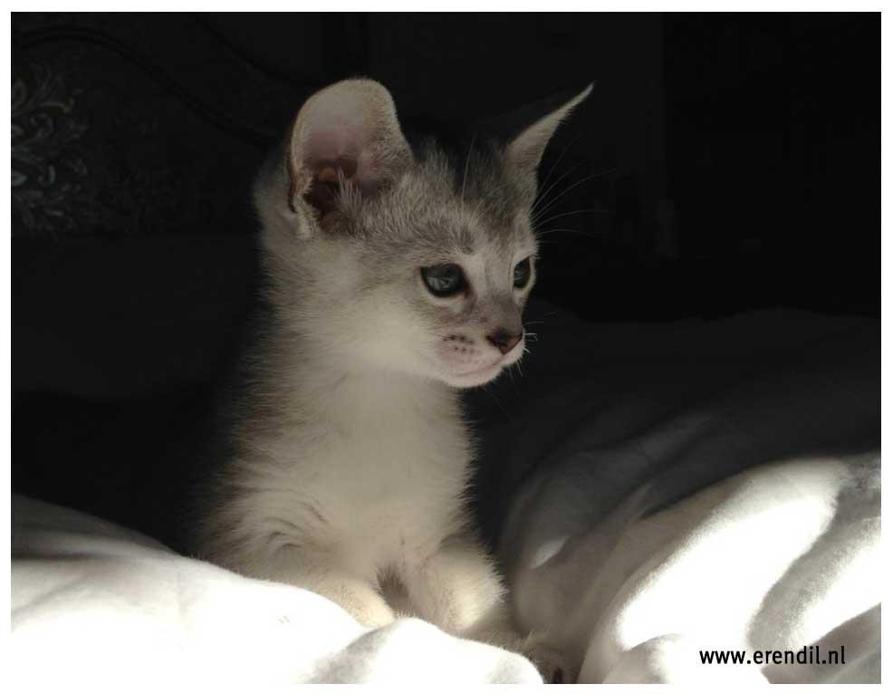 Abessijn Cattery Erendil Nestje Kittens - Bodor