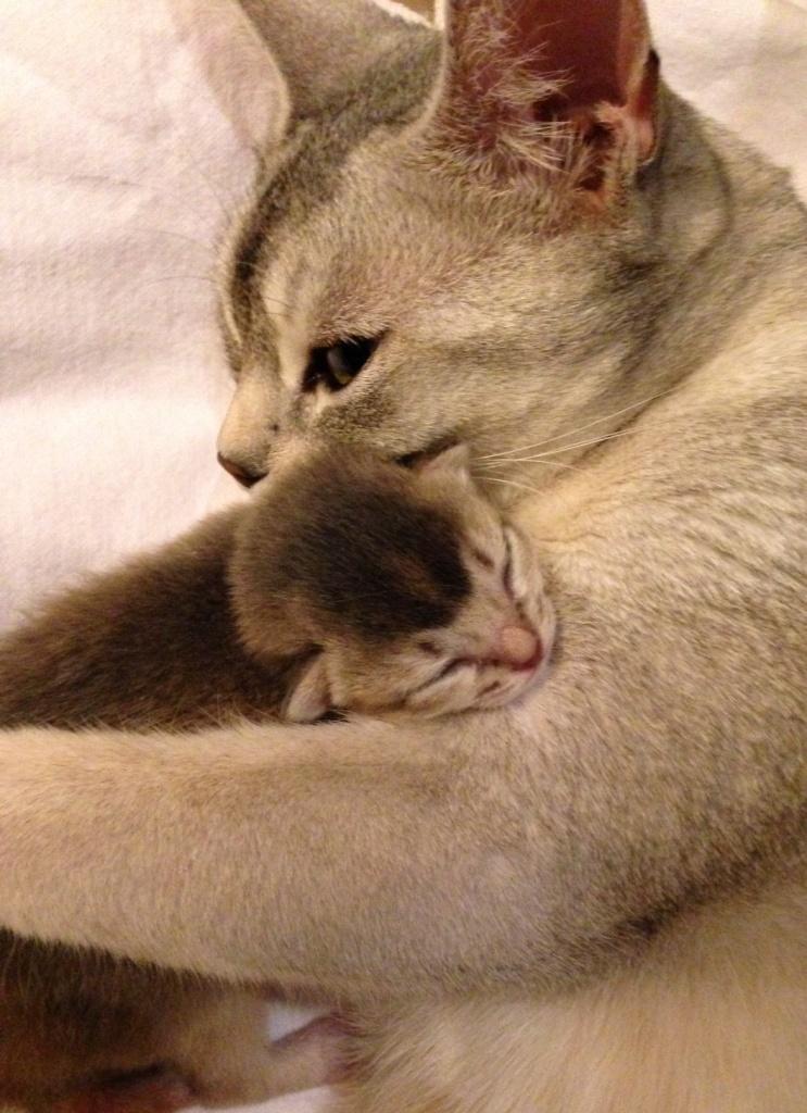 moederliefde abessijn