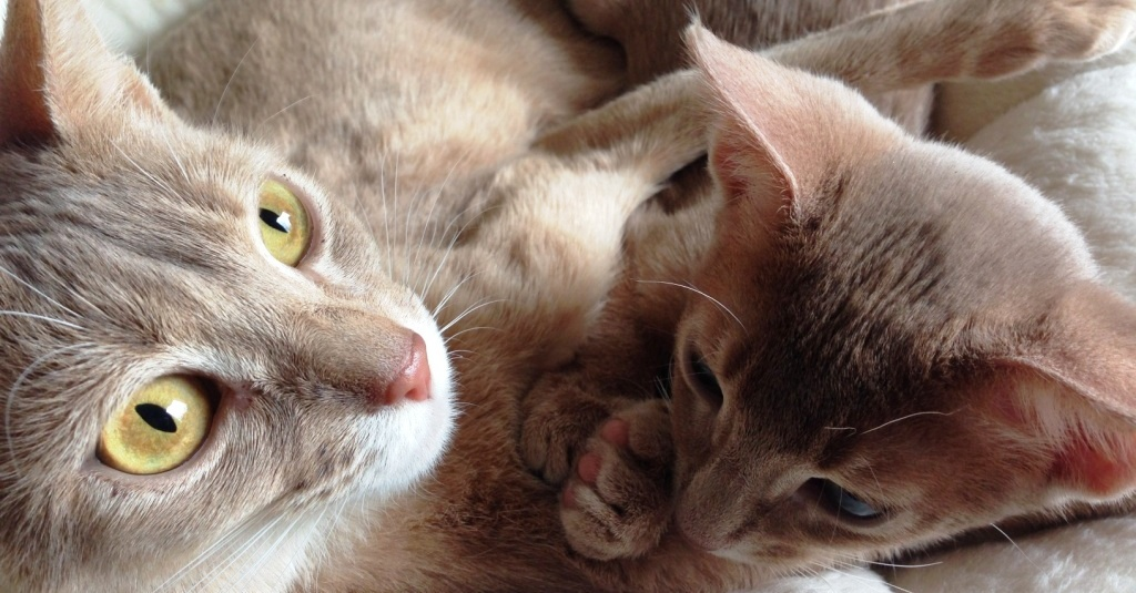 fawn abyssinian Nimue and Nala of Erendil