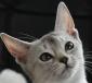 Abessijn Cattery Erendil Kittens